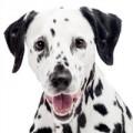 Dalmatiner Hundefutter
